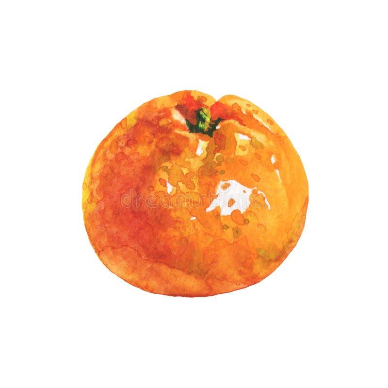 Watercolor orange mandarin. Hand drawn orange mandarin, tangerine. Watercolor fresh citrus fruit on white background. Painting isolated tropical illustration stock illustration