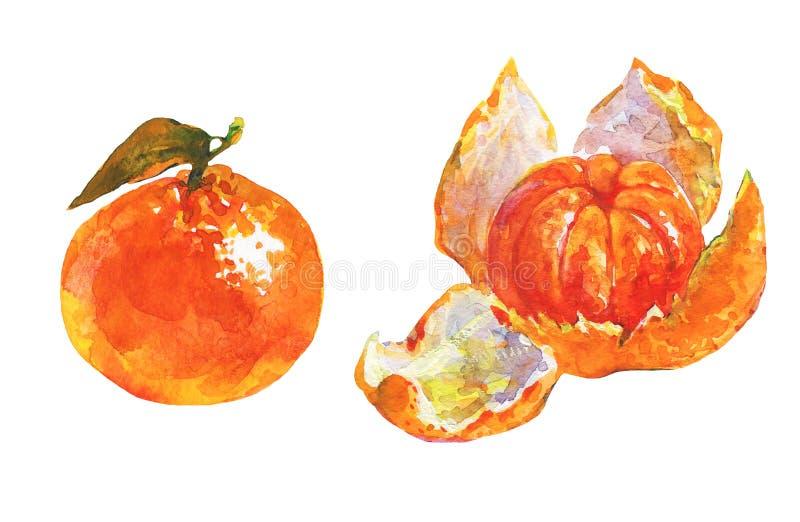 Watercolor orange mandarin. Hand drawn set of ripe and whole orange mandarin, tangerine. Watercolor fresh exotic fruit on white background. Painting isolated stock illustration