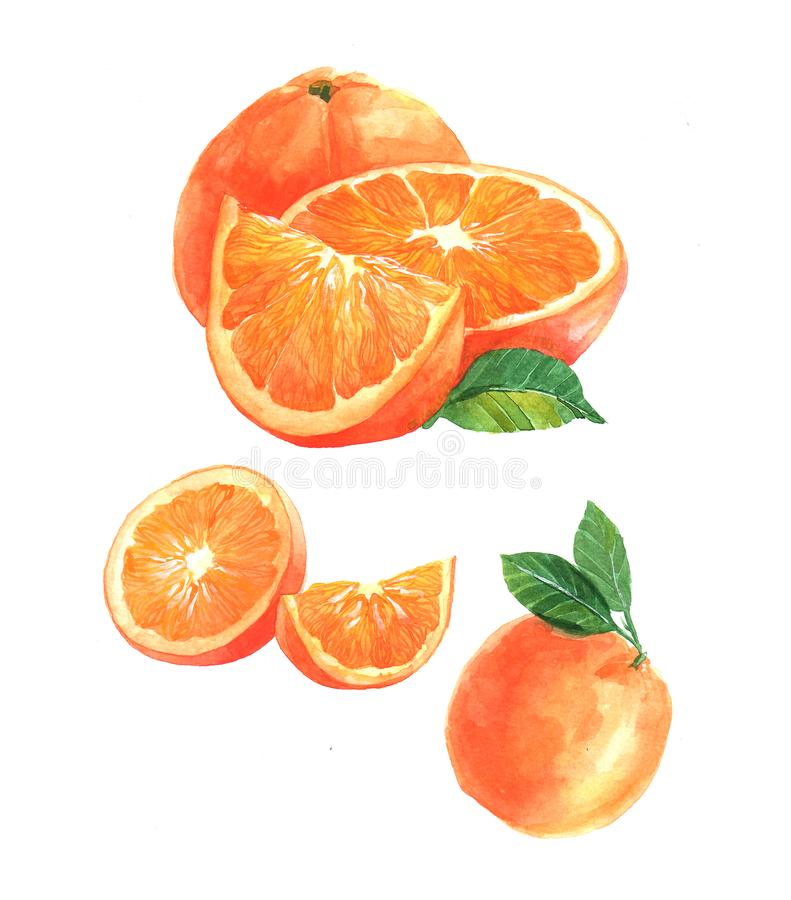 Watercolor orange and sliced orange fruit isolated vector illustration