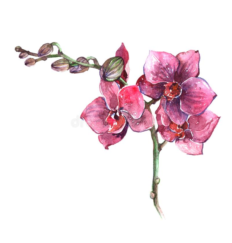 Watercolor orchid flower illustration isolated stock illustration