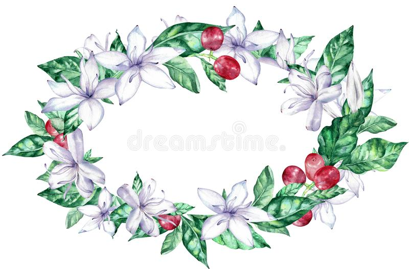 Watercolor oval frame with white coffee flowers and red berries. stock illustration