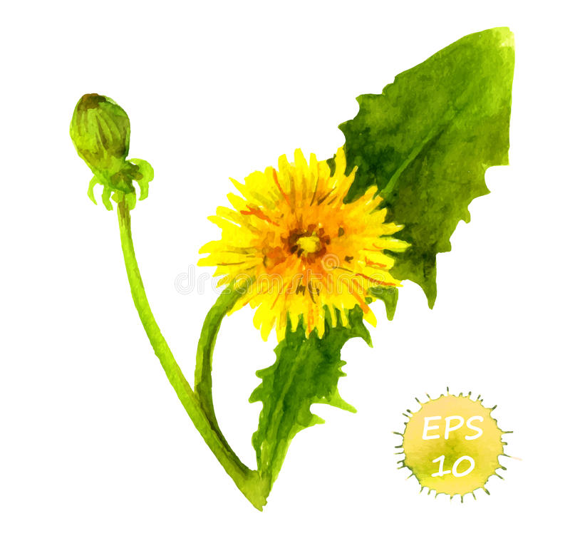 Watercolor painted dandelion flower stock illustration