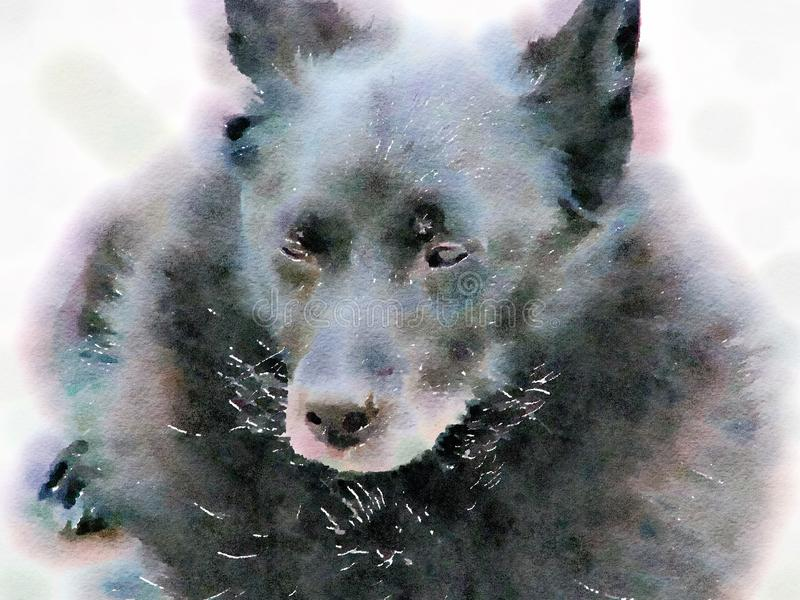 Watercolor painting of aging Schipperke dog. Close up. Watercolor painting of an aging black Schipperke dog. Close up portrait of a happy and content relaxed stock illustration
