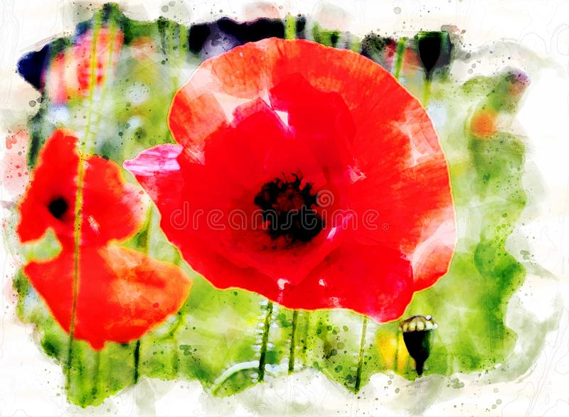 Watercolor painting of a bright red common poppy flower with buds with a blurred summer meadow background royalty free stock images