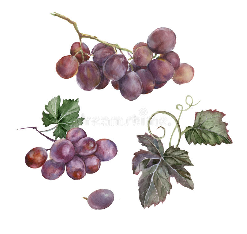 Watercolor painting. Bunch of grapes. Watercolor painting. Bunch of grapes with leaves on white background stock illustration