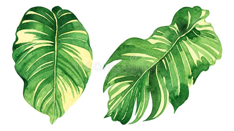 Watercolor painting coconut, palm leaf,green leaves isolated on white background.Watercolor hand painted illustration tropical exo. Tic leaf for wallpaper vector illustration