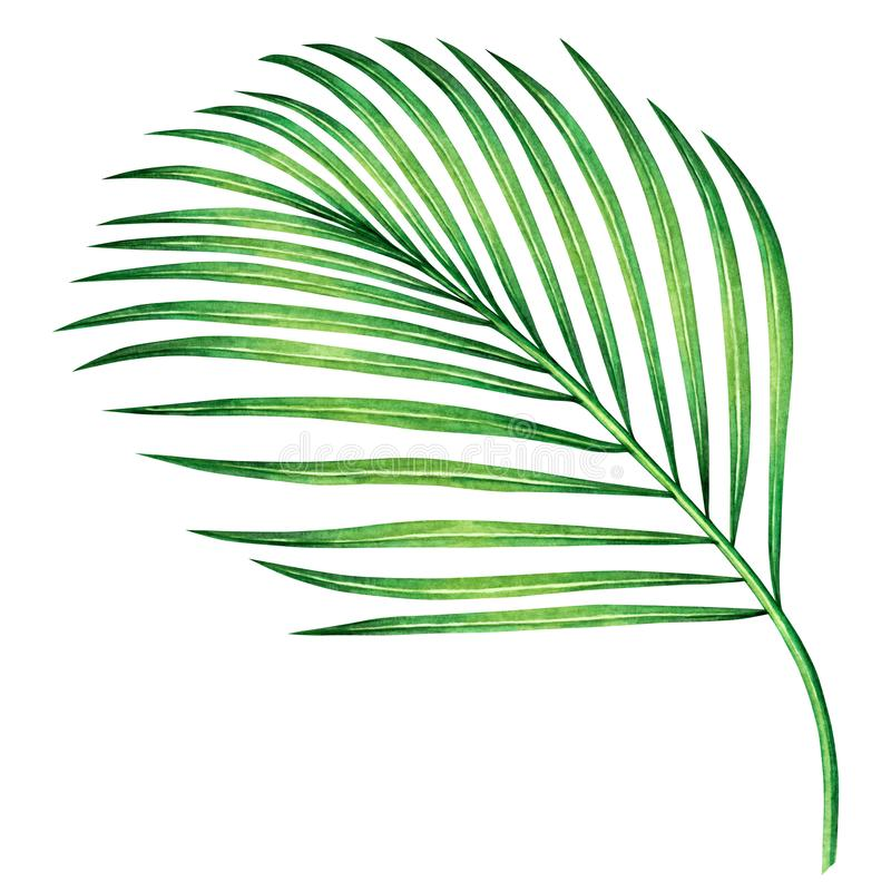 Watercolor painting coconut,palm leaf,green leaves isolated on white background.Watercolor hand painted illustration tropical exot vector illustration