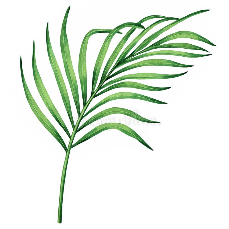 Watercolor painting coconut, palm leaf,green leaves isolated on white background.Watercolor hand painted illustration tropical exo stock illustration