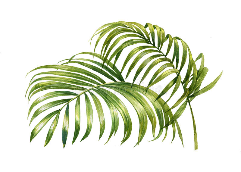Watercolor painting of coconut palm leaves isolated royalty free illustration