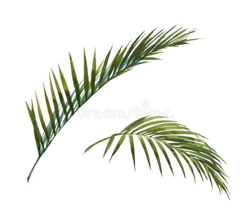 Watercolor painting of coconut palm leaves stock illustration