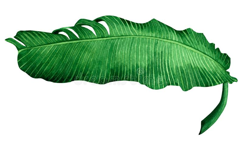 Watercolor painting green leave isolated on white background.Watercolor hand painted illustration banana leaves tropical exotic l vector illustration