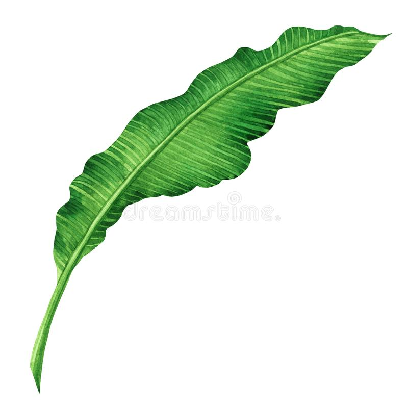 Watercolor painting green leaves isolated on white background.Watercolor hand painted illustration palm,banana leave tropical exot. Ic leaf for wallpaper vintage vector illustration