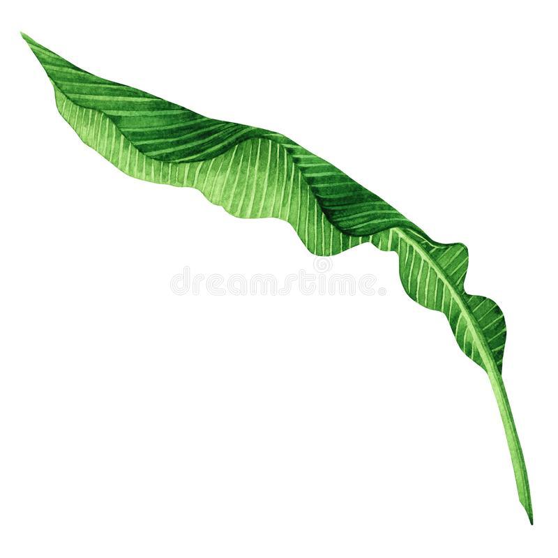 Watercolor painting green leaves isolated on white background.Watercolor hand painted illustration palm,banana leave tropical exot. Ic leaf for wallpaper vintage stock illustration
