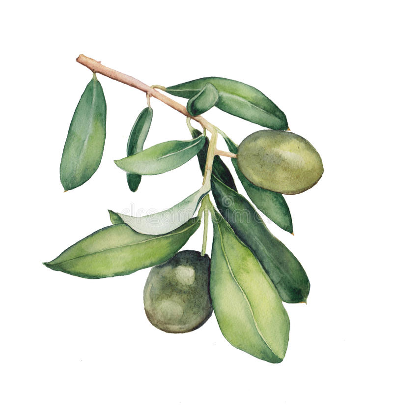 Free Watercolor Painting Of Green Olive Branch Stock Image - 60154451