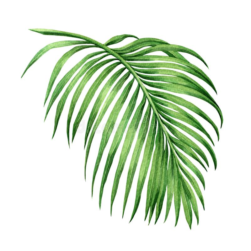 Watercolor painting palm leaf, green leave isolated on white background. Watercolor hand painted illustration. .coconut leaf patte. Rn ,wallpaper ,textile stock illustration