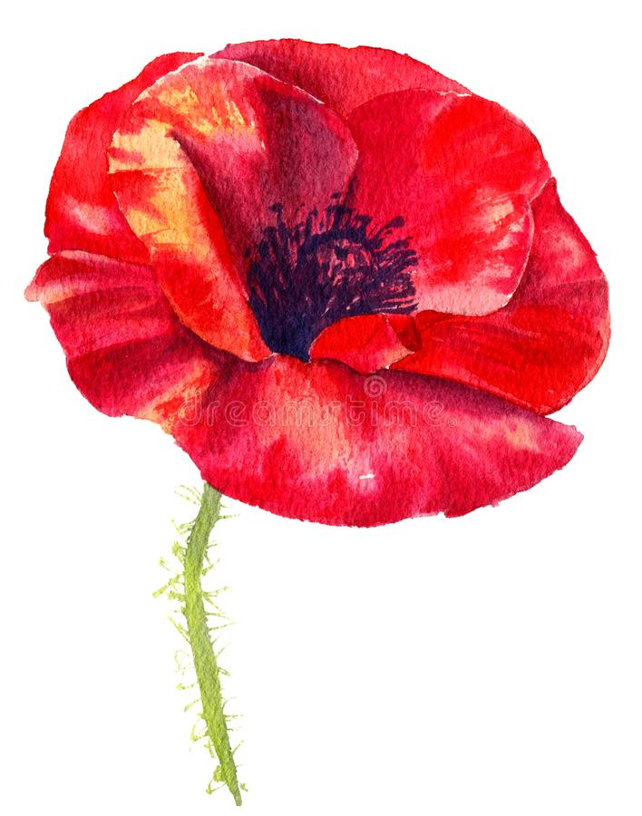 Watercolor painting poppy flower. Isolated flower on white background. royalty free illustration