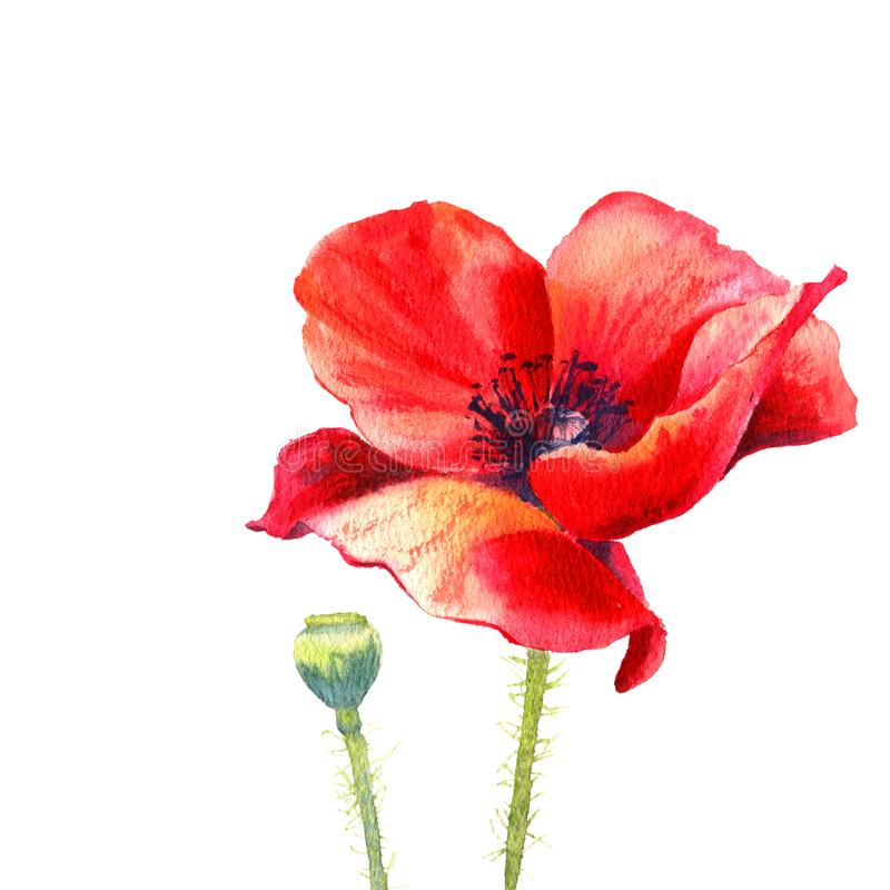 Watercolor painting poppy flower. Isolated flower on white background. vector illustration