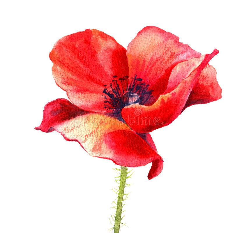 Watercolor painting poppy flower. Isolated flower on white background. stock illustration