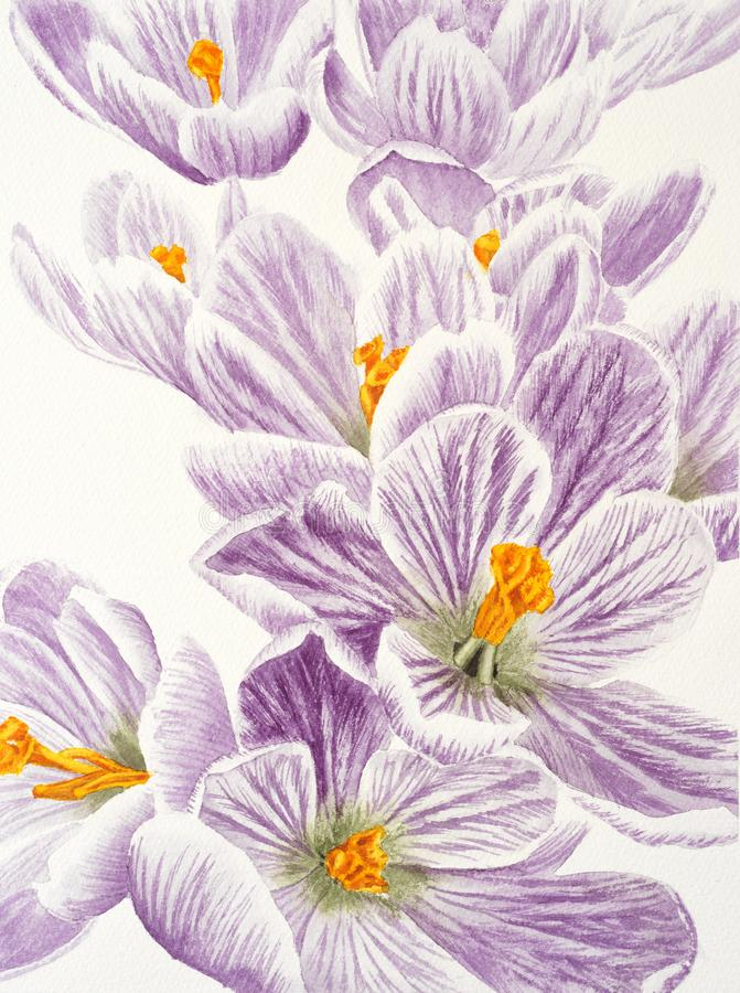 Watercolor painting with violet crocus flower on the white background stock image