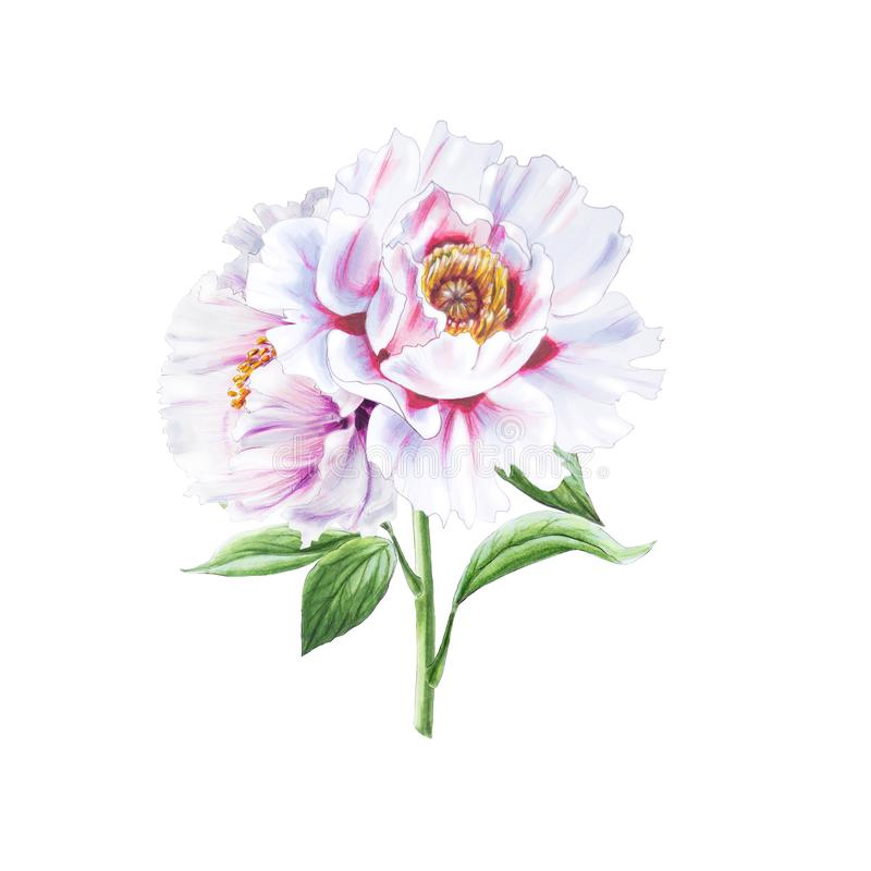 Beautiful white peonies. Bouquet of flowers. Floral print. Marker drawing. stock illustration