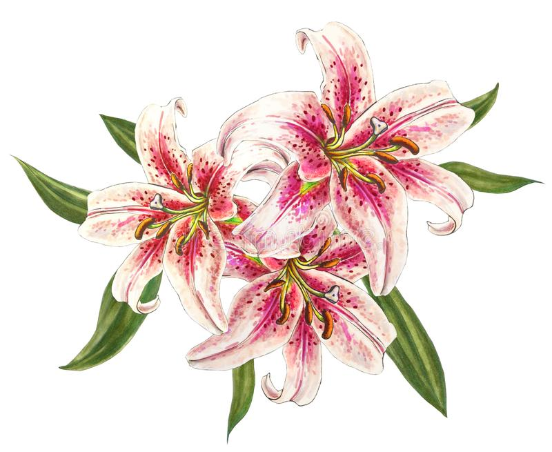 Beautiful pink lilies. Bouquet of flowers. Floral print. Marker drawing. stock illustration