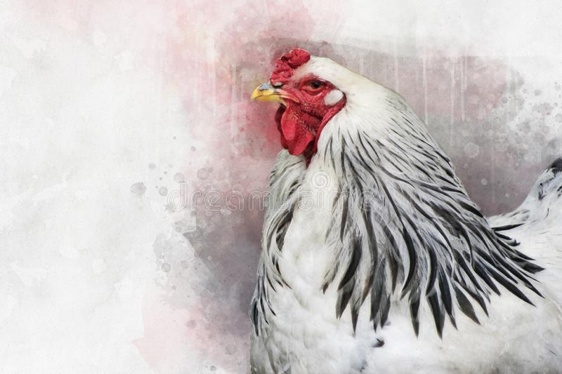 Watercolor painting of a white Columbia Brahma rooster. Bird illustration.  stock image