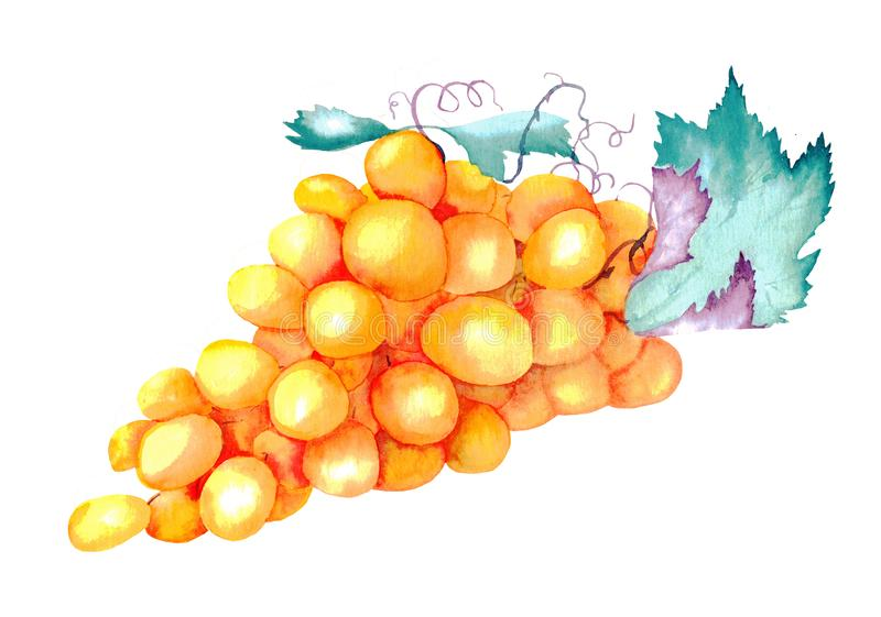 Watercolor painting yellow bunch of grapes. With leaves isolated on white background royalty free illustration