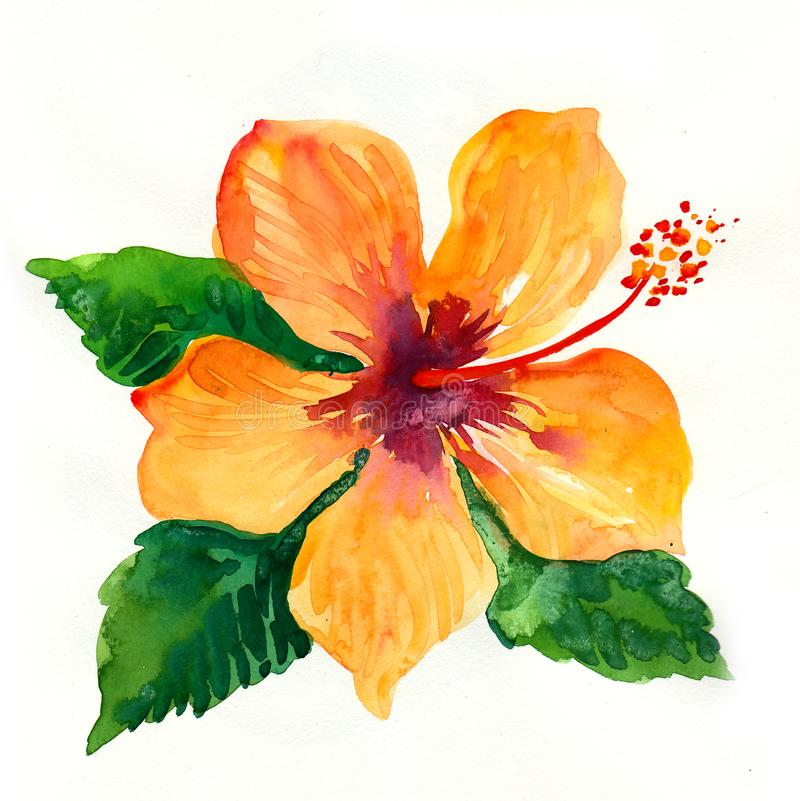 Hibiscus flower. Watercolor painting of a yellow hibiscus flower royalty free illustration