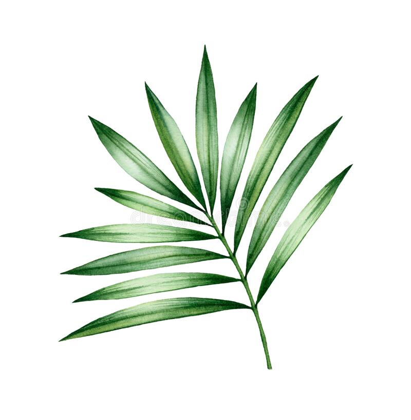 Watercolor Palm Tree Leaf Exotic Green Plant Isolated On White Shiny Jungle Tree Leaves Realistic Botanical Stock Illustration Illustration Of Drawing Coconut 179327217