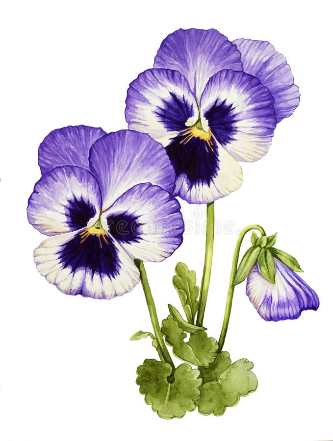 Watercolor with Pansies vector illustration