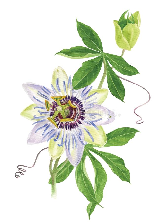 Watercolor passion flower branch stock illustration