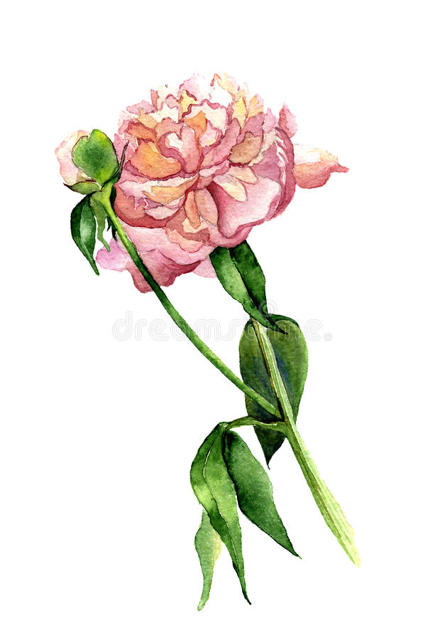 Watercolor Peony stock illustration