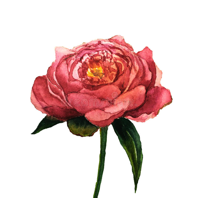 Watercolor peony flower. Hand drawn floral illustration with white background. Botanical illustration. stock illustration