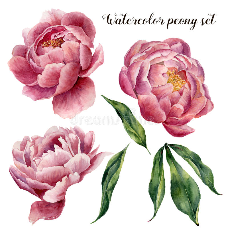 Watercolor peony set. Vintage floral elements with peony flowers and leaves isolated on white background. Hand drawn vector illustration