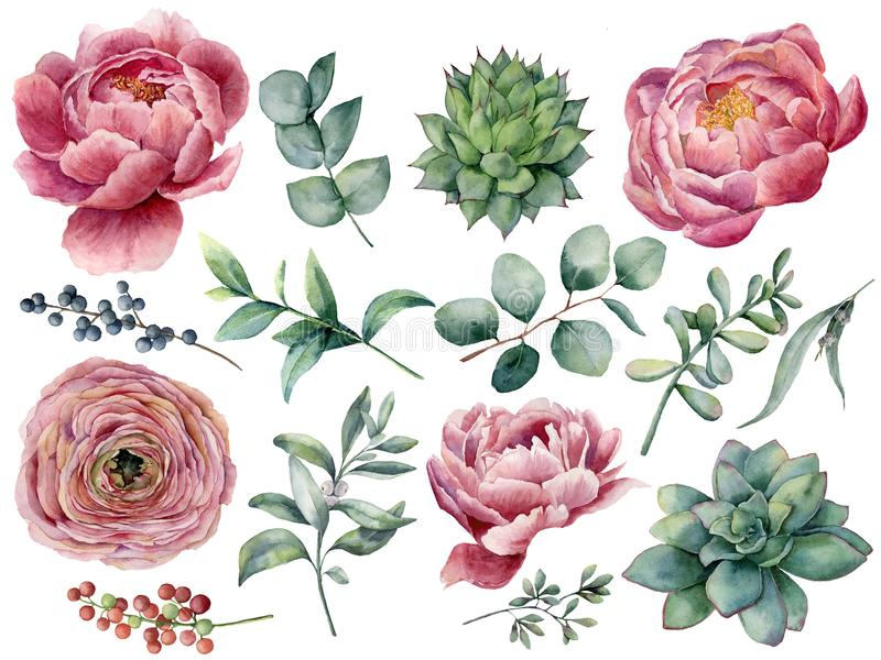 Watercolor peony, succulent and ranunculus floral set. Hand painted red and blue berry, eucalyptus leaves isolated on royalty free illustration