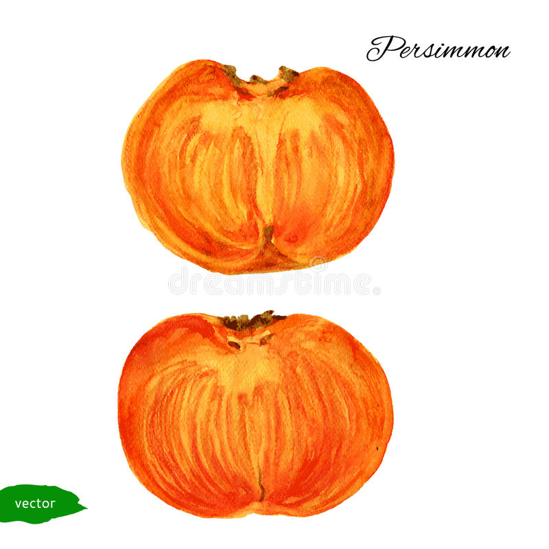 Watercolor Persimmon, half illustration isolated on white background, Hand drawn vector sketch, Vintage tropical organic vector illustration