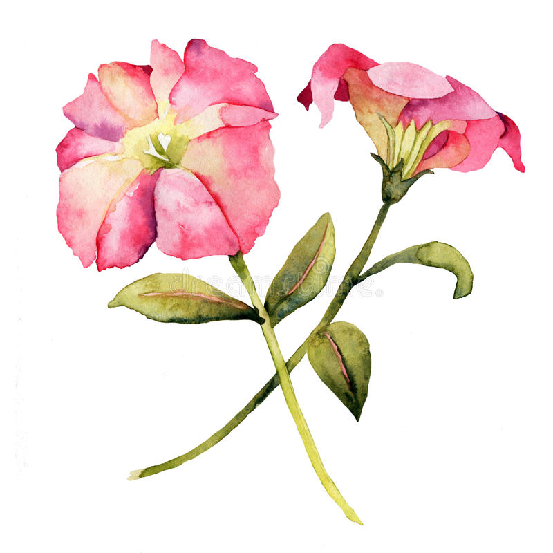 Watercolor with Petunia flower stock illustration