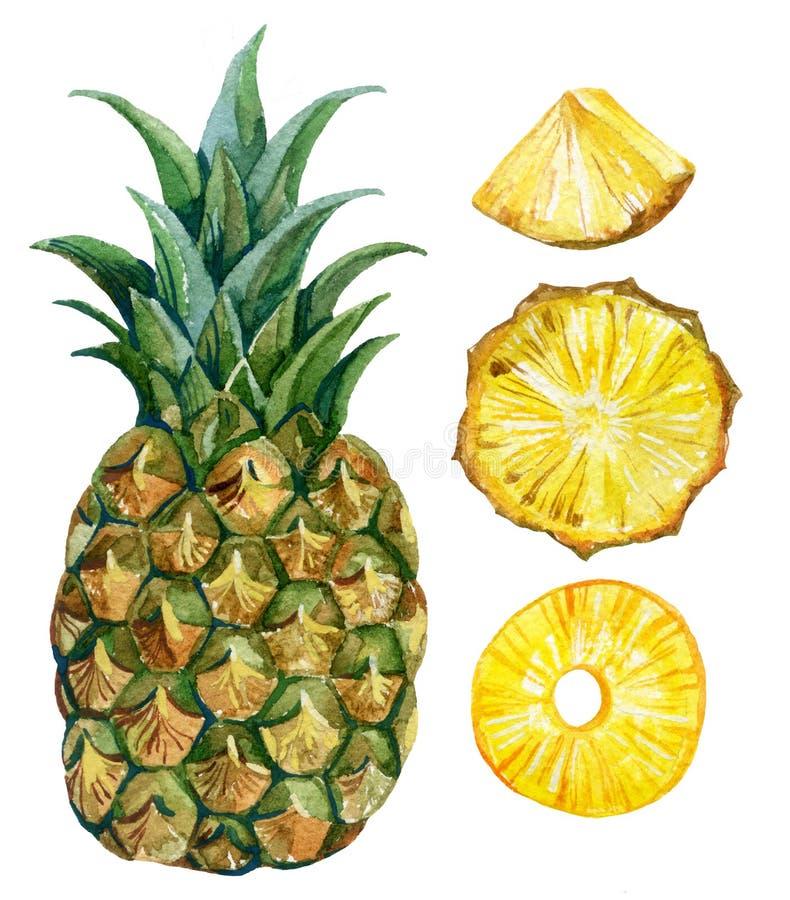 Watercolor pineapple set vector illustration