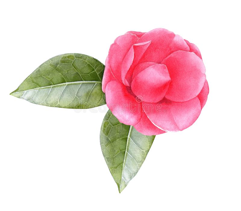 Watercolor pink camellia flower with leaves vector illustration