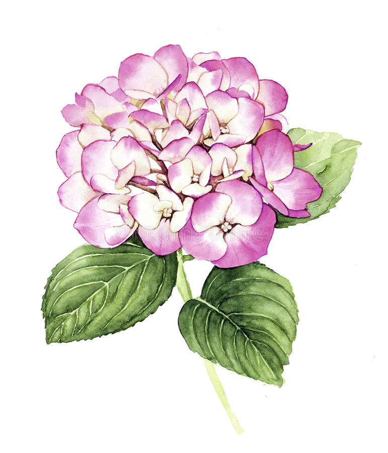 Watercolor pink Hydrangea flower vector illustration