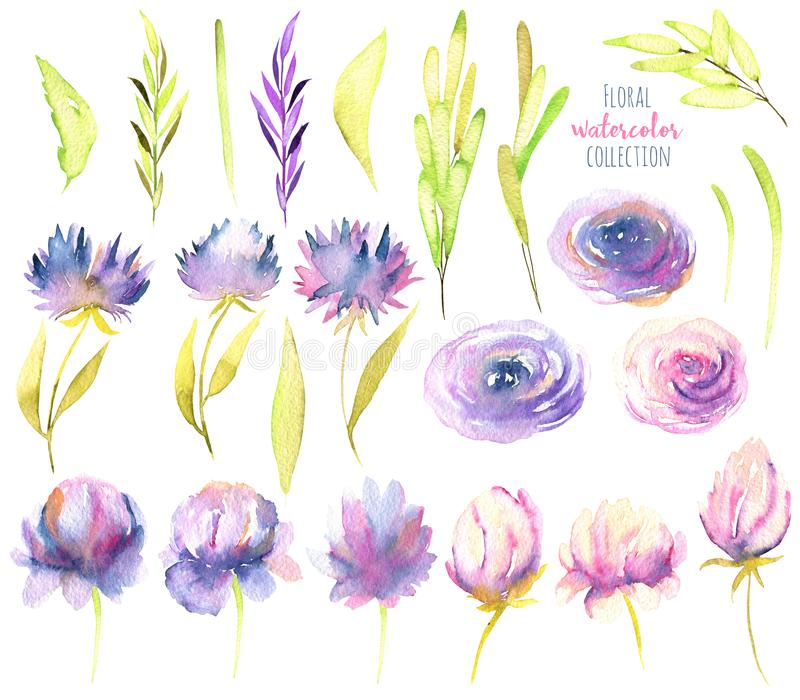 Watercolor pink and purple peonies, roses, asters and greed branches collection, isolated elements set royalty free illustration
