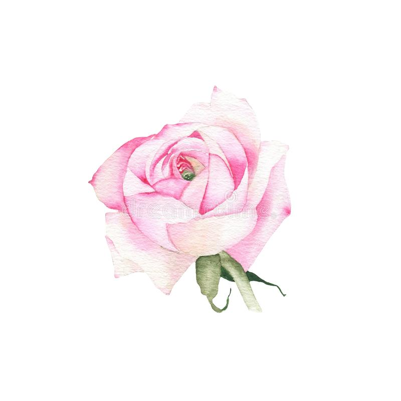Watercolor pink rose flower plant herb spring flora isolated. On white background. Botanical decorative illustration for wedding invitation card stock photo