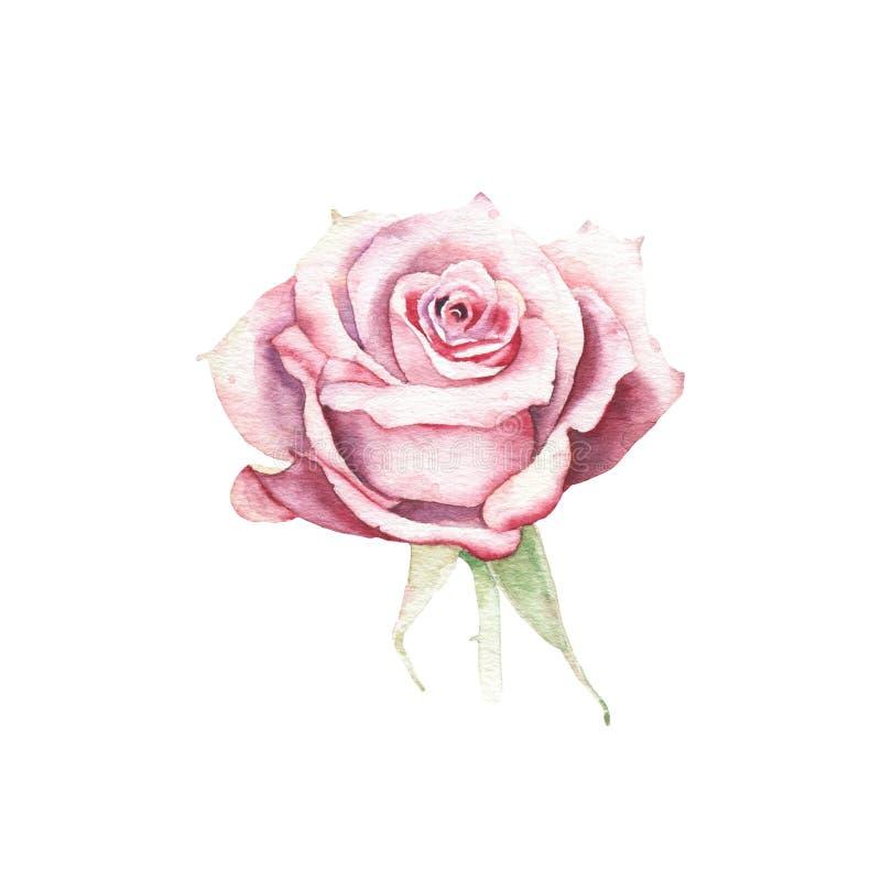 Watercolor pink rose flower plant herb spring flora isolated. On white background. Botanical decorative illustration for wedding invitation card vector illustration