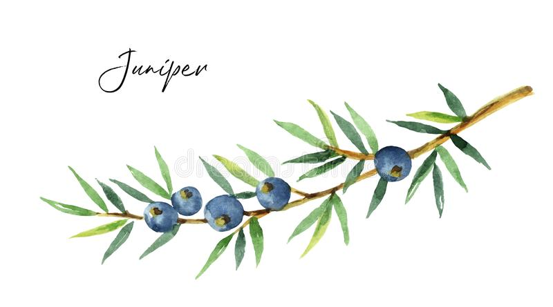 Watercolor plants juniper isolated on white background. Botanical illustration with berries and branches royalty free illustration
