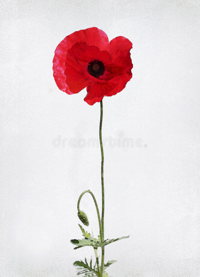 Watercolor poppy. Illustration of watercolor poppy on a vintage background royalty free illustration