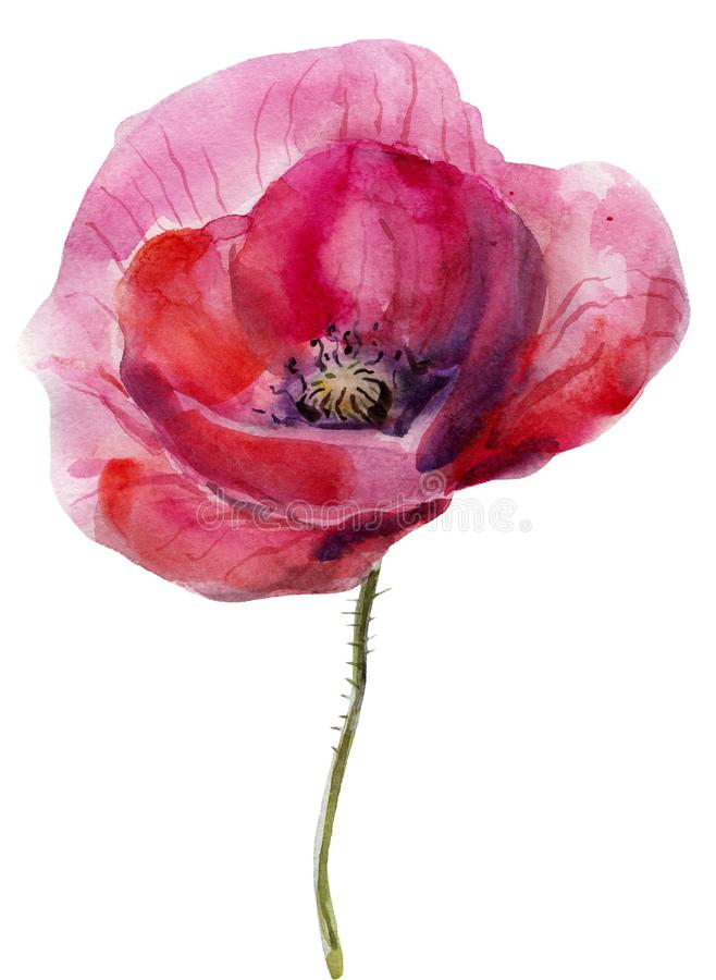 Watercolor poppy. The flower clipart isolated on a white background. Hand painted illustration for design prints. Watercolor poppy. The flower clipart isolated stock photography
