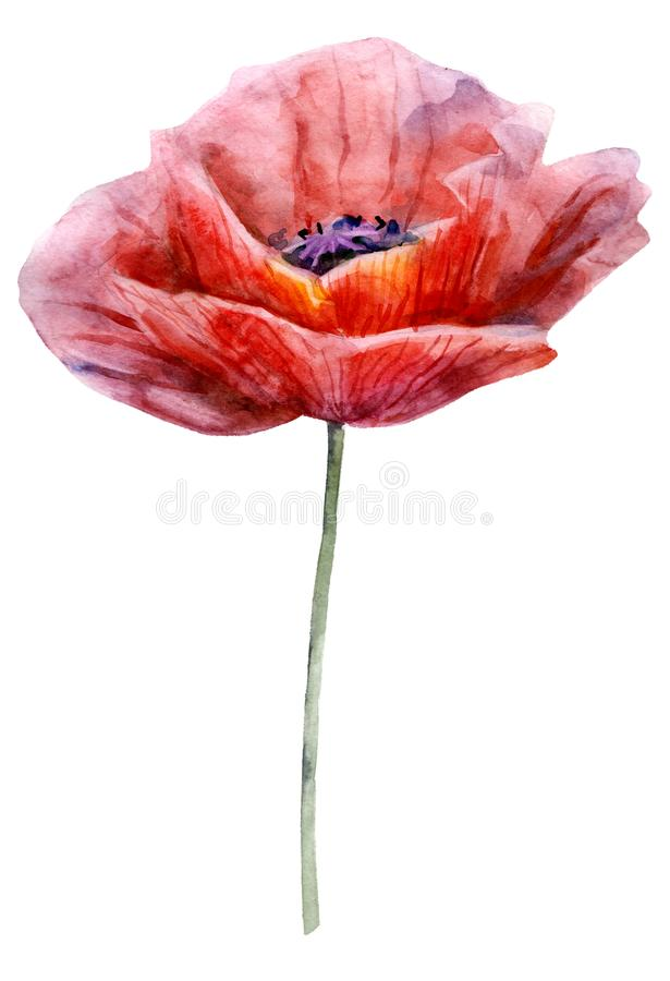 Watercolor poppy. The flower clipart isolated on a white background. Hand painted illustration for design prints. Watercolor poppy. The flower clipart isolated royalty free stock image