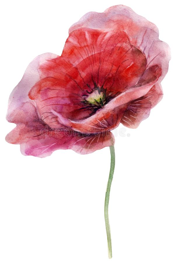 Watercolor poppy. The flower clipart isolated on a white background. Hand painted illustration for design prints. stock photography