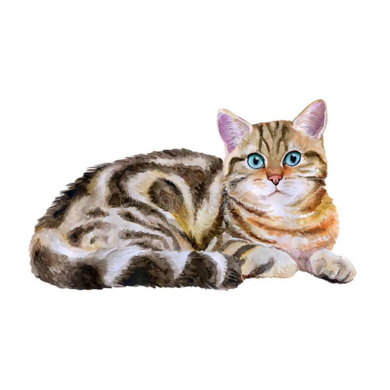 Watercolor portrait of blue, brown british marble short hair cat on white background. Hand drawn sweet home pet stock illustration