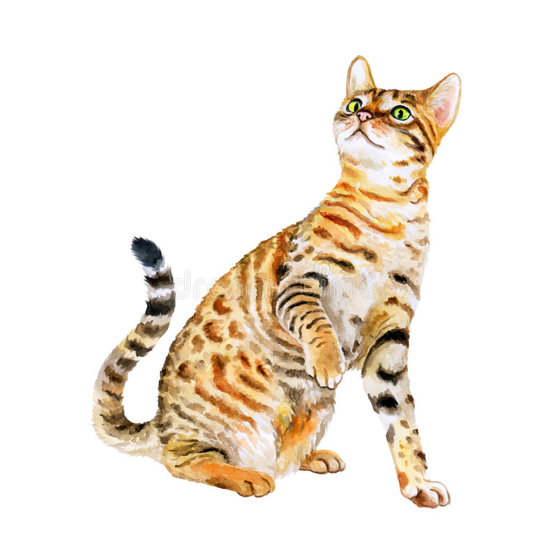 Free Watercolor Portrait Of American Savannah Cat On White Background. Hand Drawn Sweet Home Pet Royalty Free Stock Photography - 68350827